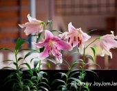 joyjomjanis-lilly-1