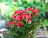 บีโกเนีย Begonia ดอกซ้อน