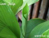 ปทุมมา Siam Tulip Curcuma