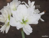 snow-white-img_2311-s