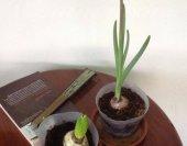 wt-hyacinth-2013-03-05-jpg
