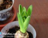 wt-hyacinth-china-pink-1-jpg