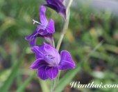 wt-glad-purple-02-jpg