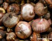 wt-gladiolus-bulb-1-jpg