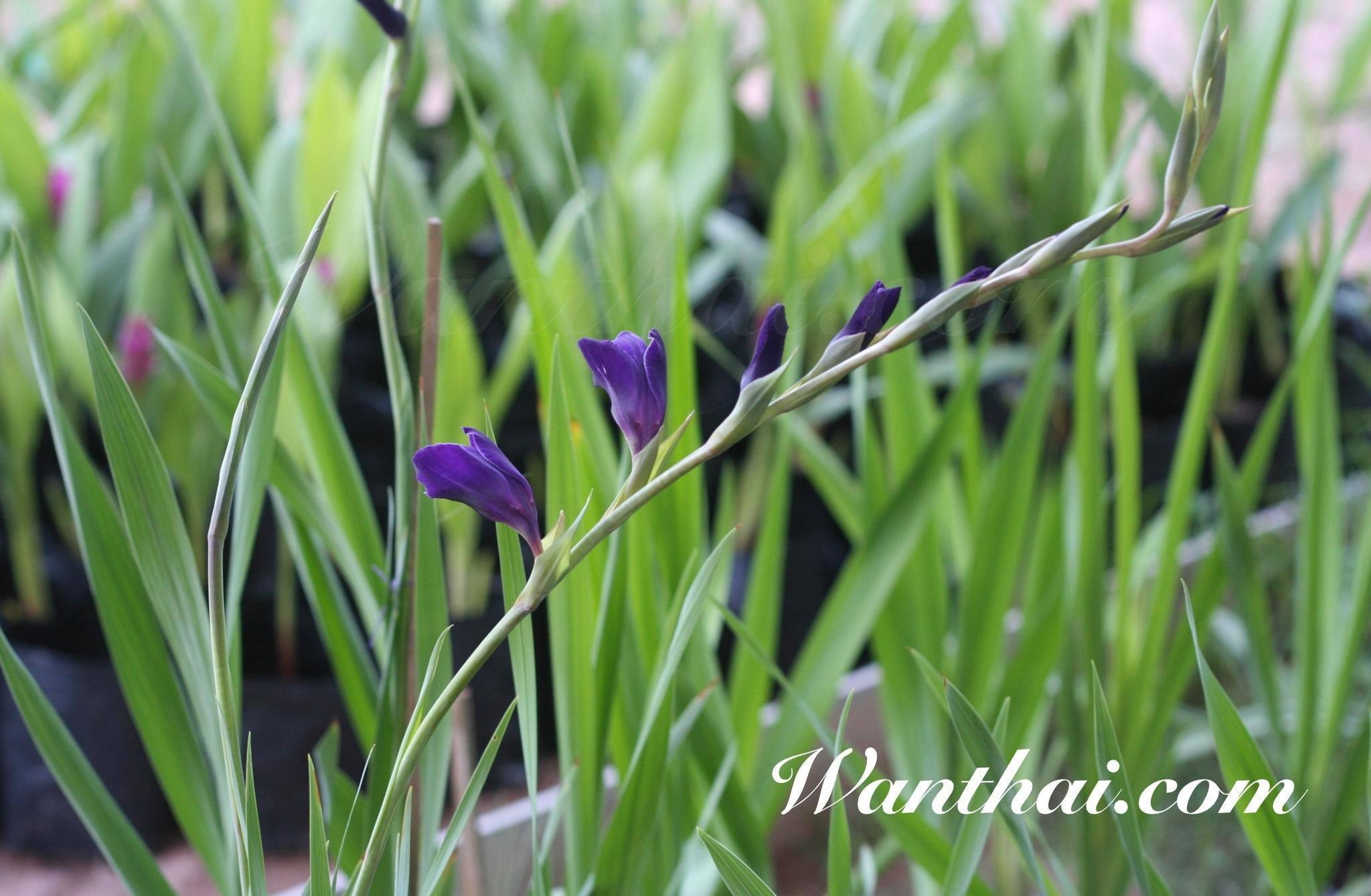 wt-gladilus-purple-03-jpg