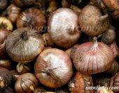 wt-gladiolus-bulb-1