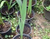wt-gladiolus-step2