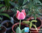 wt-howto-tulip-3-jpg