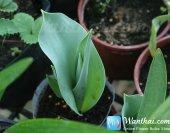 wt-tulip-jp-5