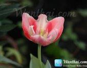 wt-tulip-jp-6