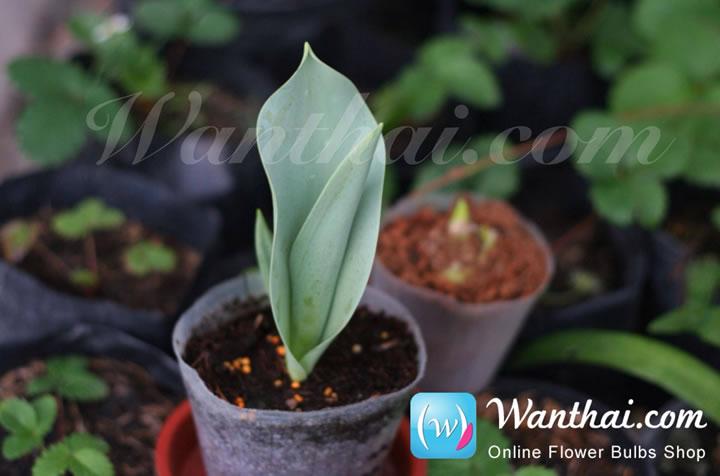 wt-howto-tulip-1-jpg