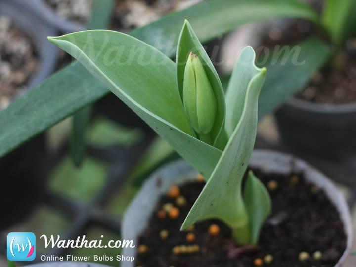 wt-howto-tulip-2-jpg