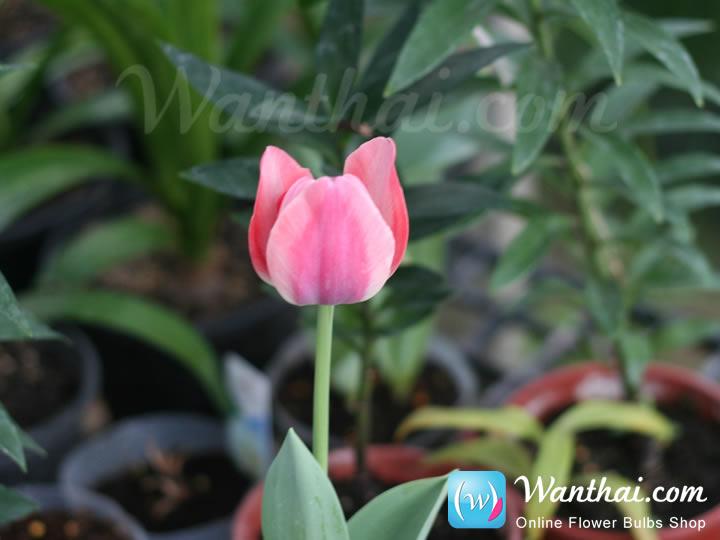 wt-tulip-jp-7