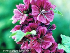 Hollyhock Malva Sylvestris Purple Double