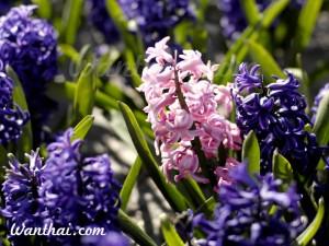 ไฮยาซินธ์ Hyacinth
