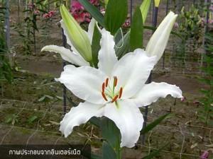 ดอกลิลลี่ Lily White Express