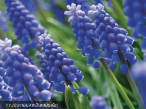 Grape Hyacinth Blue