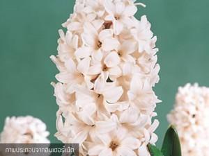 Hyacinth China Pink
