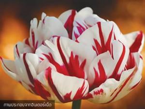 Tulip carnaval-de-nice