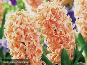 Hyacinth Gypsy Queen