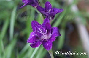 Gladiolus Violetta
