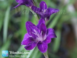แกดิโอลัส ดอกสีม่วง Gladiolus
