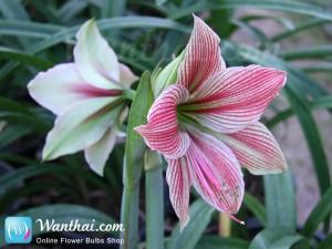 ว่านสี่ทิศ Amaryllis Exotic Star