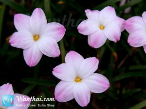บัวดิน Zephyranthes Lily Pies