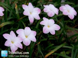 บัวดิน Rainlily Lily Pies