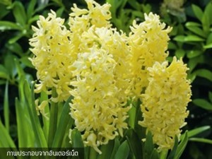 Hyacinth City of Haarlem