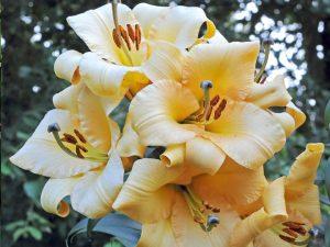 ลิลลี่ saltarello ดอกสีเหลือง
