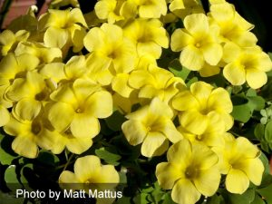 Oxalis Pot of Gold