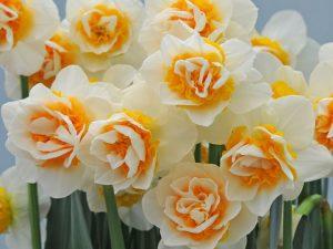 แดฟโฟดิล Double Dee ดอกไม้เมืองหนาว