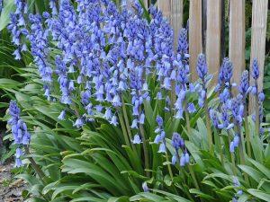 ดอก Spanish Bluebell สีน้ำเงิน