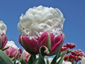 ทิวลิป tulip ice cream