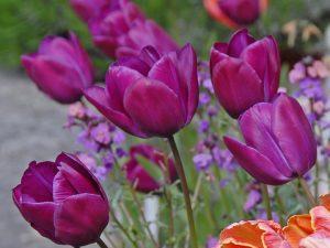 ทิวลิปดอกสีม่วง Negrita