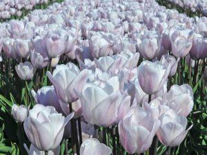 ทิวลิปดอกสีขาว Silver Cloud