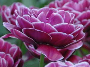 ทิวลิป dream touch ดอกสีม่วง