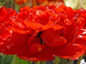 ทิวลิป miranda ดอกสีแดง